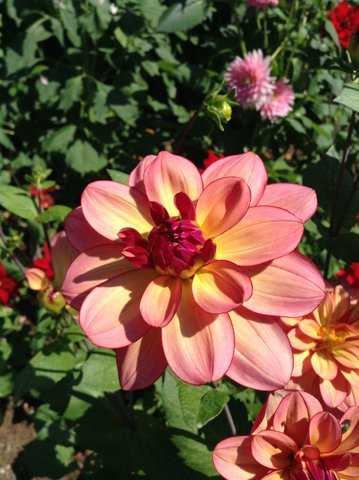 From Linda Fitzgerald in the Seaview neighborhood. Have a photo of dahlias — our official city flower — that you'd like to share? Email it to teresa@myedmondsnews.com.