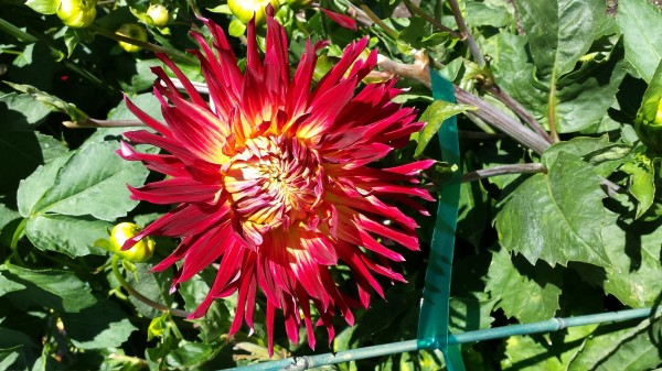 From Jim and Judy Clark in Esperance. Have a photo of dahlias, the City of Edmonds' official flower, you'd like to share? Email to teresa@myedmondsnews.com.