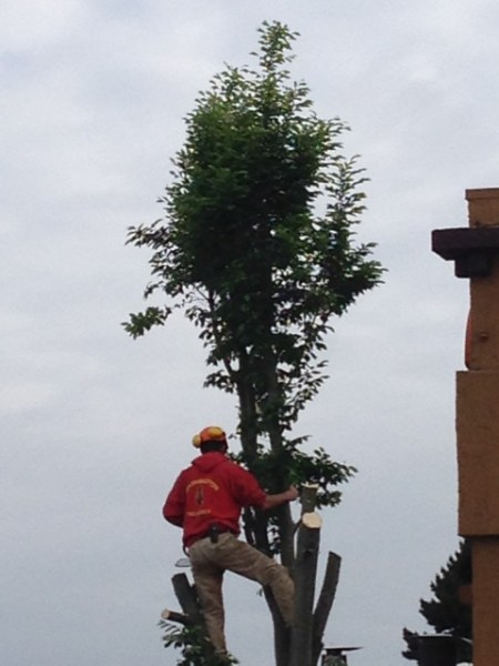 Barry Erlich submitted these photos of tree removal outside Demetri's. Our inquiry to the City of Edmonds yielded this information:  City engineering Department requested this Hornbeam tree be removed due to tree was blocking BNSF railroad crossing lights. I sent a email to Carrie and Phil about a month ago stating this tree would be removed due to blocking railroad crossing lights. Last fall I had tree pruned down but when tree leafed out this spring it still blocked railroad crossing lights so the tree needed to be removed for safety at this rail road crossing. Parks is planning on putting a container planter over this site and plant with flowers this spring. So this should look very nice for this summer.