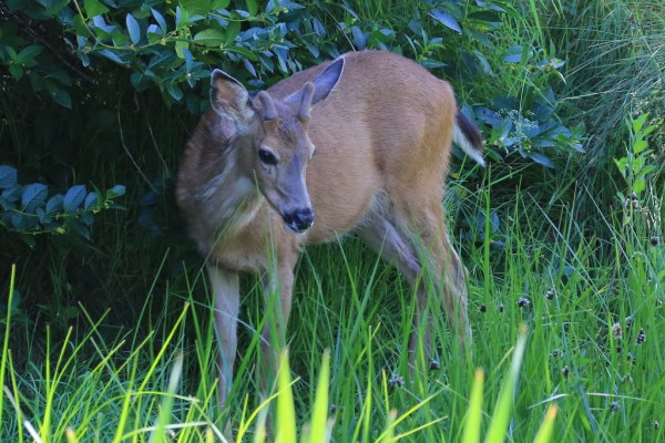 Anderson saw a young buck cooling off in the shade near the retention pond at the end of the Point Edwards walkway.