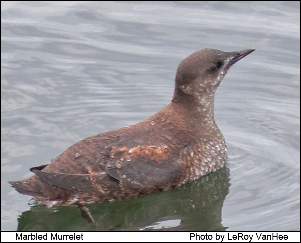 marbled_murrelet