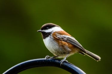 Chestnut-backed Chickadee on a feeder pole.