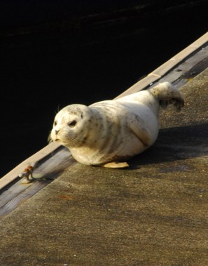 A seal pup on the Edmonds Marina dock earlier this year. If you see a pup, leave it alone. (Photo by Tom Dockins)