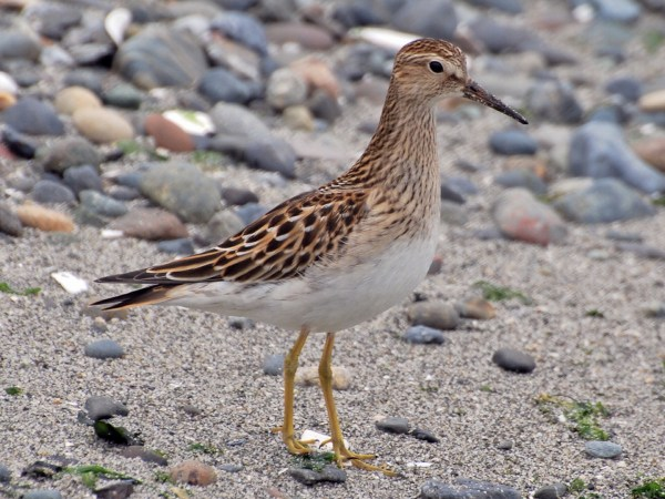 Pectoral Sandpiper (Photos by Carol Riddell)