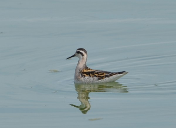 Red-necked Phalarope (Photos by Carol Riddell)