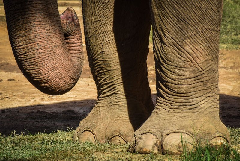 pies de elefantes