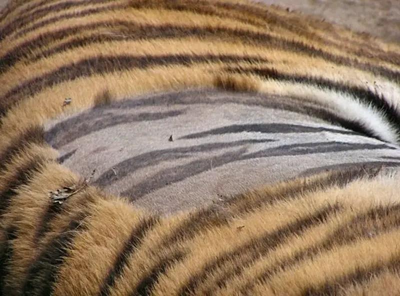 tiger stripes on the skin