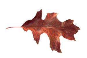 seasons-changing-red-oak-leaf_GynHFvdd