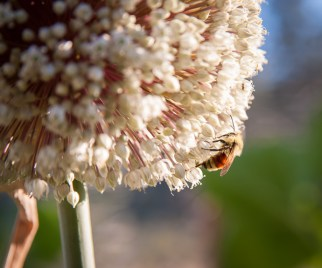 Leek flower with bee
