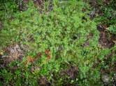 Rocky Mountain juniper?