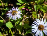 Aster with pollinators