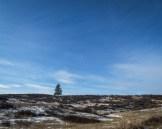 lone pine on the horizon