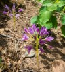 Wild onion. Alium sp