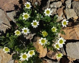 Anemone occidentalis or western pasqueflower