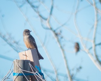 Say's Phoebe with Northern Pygmy-owl in the background