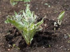 Small balsamroot plants