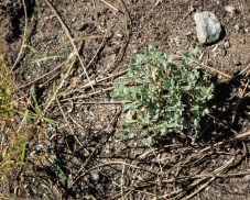 Bitterbrush seedlings