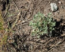 Bitterbrush seedlings