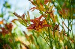 Many day lilies