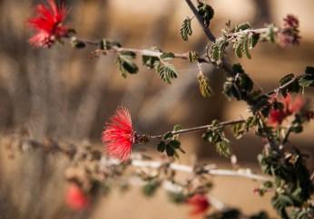 A fairyduster flower.