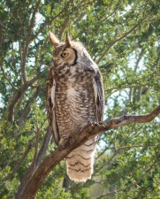 The Great-horned Owl looks over the visitors
