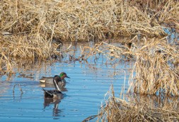 Northern Pintail and Green-winged Teal