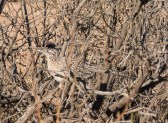 This Greater Roadrunner ran in front of the coach as we were leaving. I was able to make photos of it through the window
