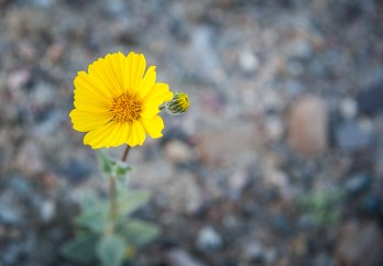 I found a few individual flowers of Desert Gold near the campground before the wind came up