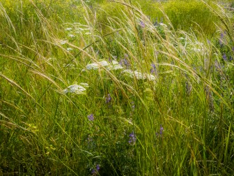 tall grasses and yarrow