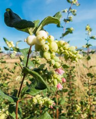 Lots of snowberry has become established in the two years since the fire