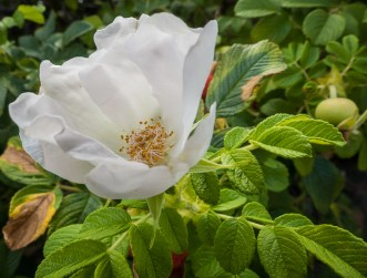 Rugosa rose blooming in the Twisp Commons