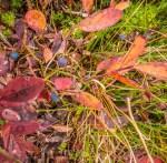 A few remaining huckleberries