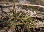 Tiny lomatium flower