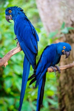 cool pets Hyacinth Macaw myexoticworld