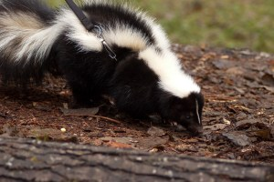cool pets the skunk myexoticworld