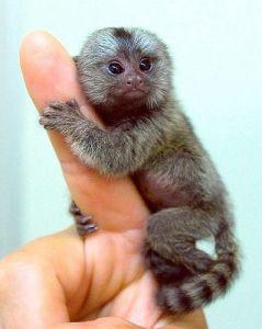 finger monkey price