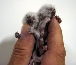 What is finger monkey?