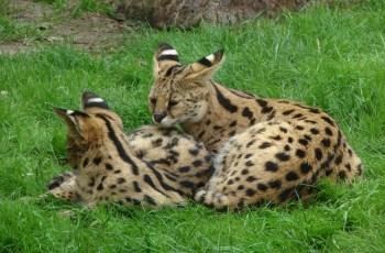 serval cat as pet