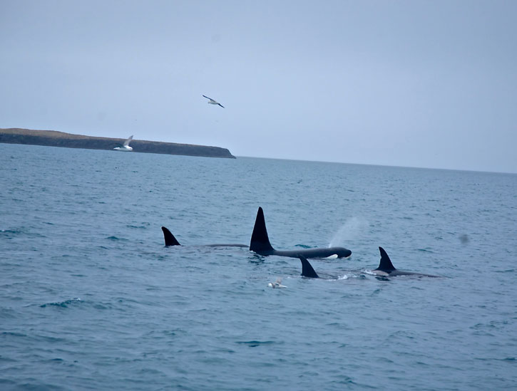A pod of Orcas by the bay by fishing village of Grundarfjorour in the Snaefellsnes National Park