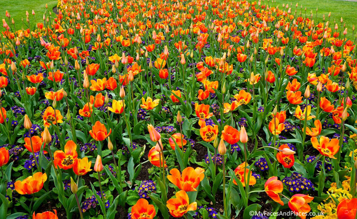 Tulips the purveyor of spring in full regalia in Kew Gardens.