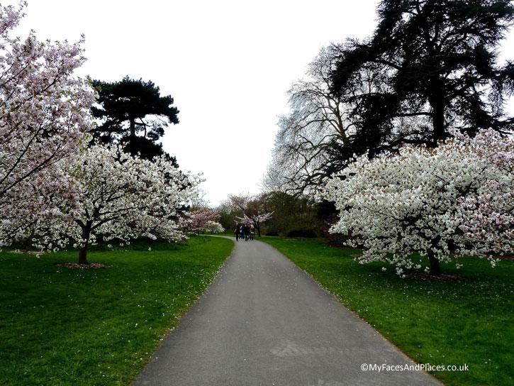 The Cherry Blossom Walk in Kew Gardens