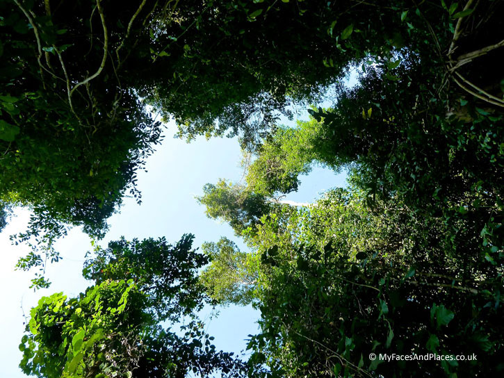 Gaya Island Resort - Lofty trees soar up to dizzy heights on our nature walk