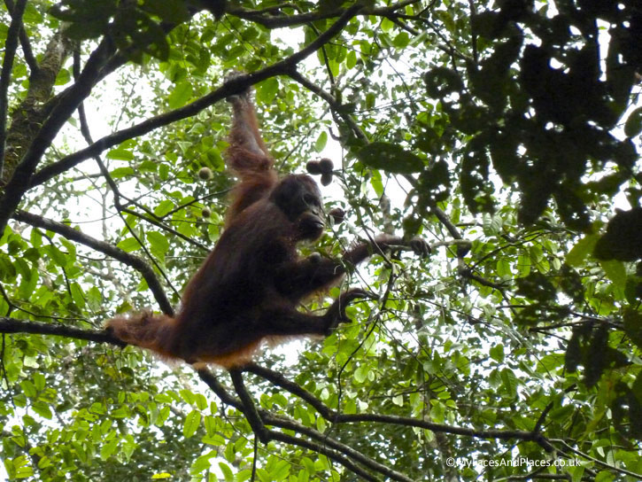 An Orang Utan enjoying the fruits of the forest. Albert Teo - A Man With A Green Mission