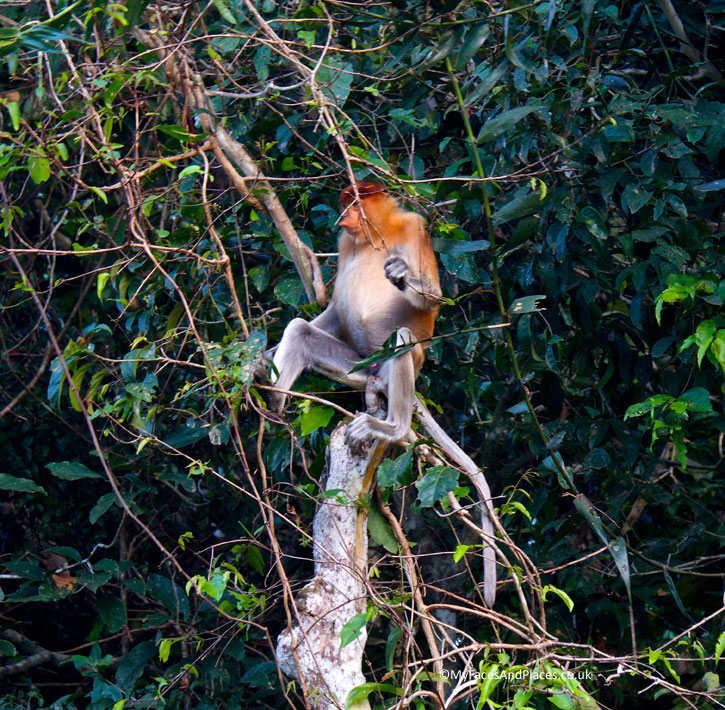 A proboscis monkey chilling out in the cool of the evening. Albert Teo - A Man With A Green Mission