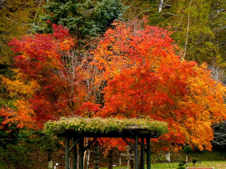 A blaze of red when the maple leaves burst into autumnal colours - autumn in Niseko