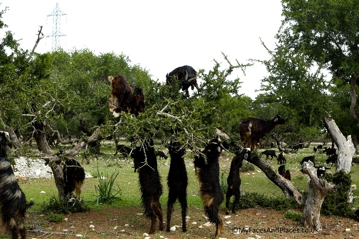 It's not a hallucination, the goats were actually climbing the argan trees