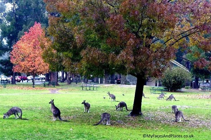Feral kangaroos having a picnic on the park