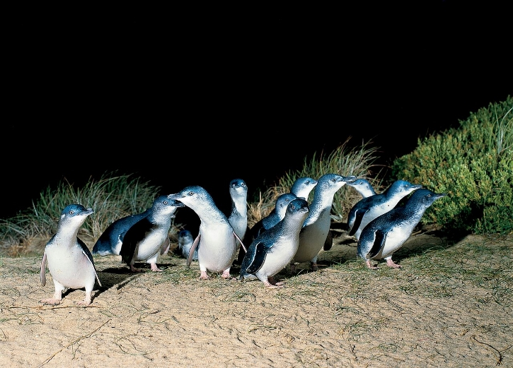 The nightly parade of Little Penguins at Phillip Island. Photo courtesy of Phillip Islands Nature Parks