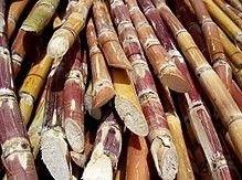 Harvested sugarcane