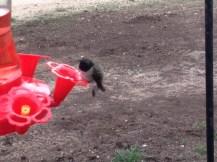 Spring Photo - Hummingbird on feeder